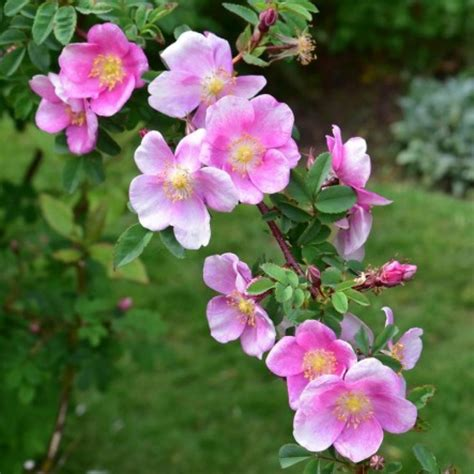 Mary Queen of Scots   Rose, 0