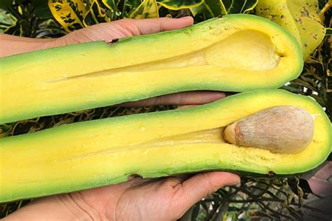 Freakishly long-necked avocados take internet by storm