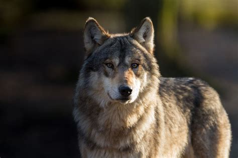 New vote could bring gray wolves back to Colorado - New